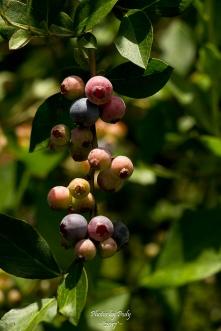 Blueberry Farm_20160625_011