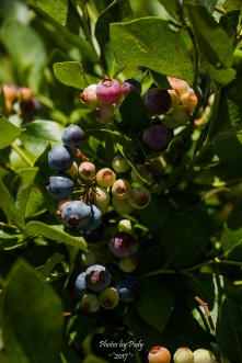 Blueberry Farm_20160625_050