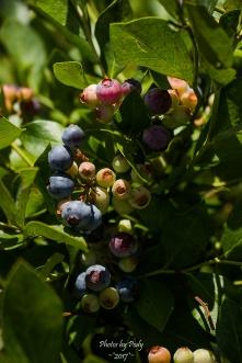 Blueberry Farm_20160625_050