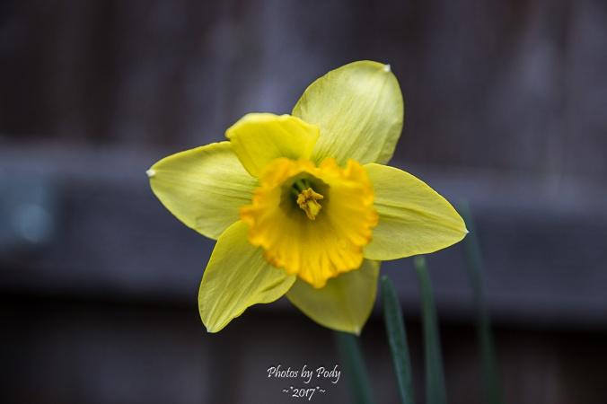 Daffodil_20170217_003