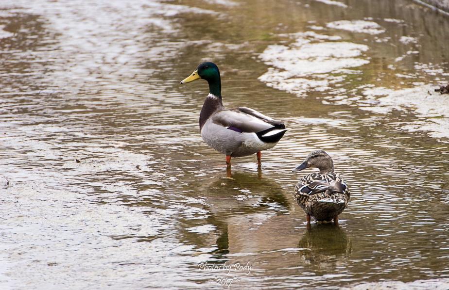 Ducks_20170212_055