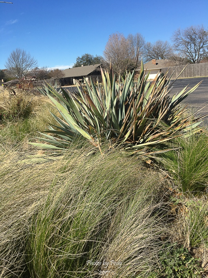 Yucca (7)