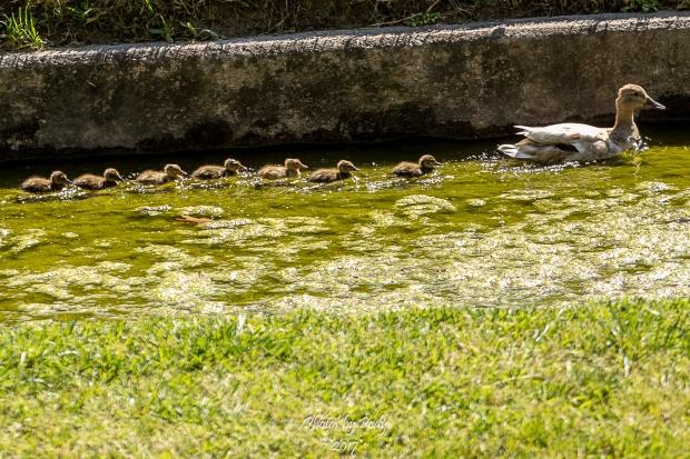 Baby Ducks_20170506_019