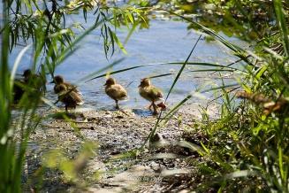 Baby Ducks_20170506_045