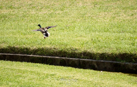 Baby Ducks_20170506_065