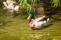 Baby Ducks_20170506_087