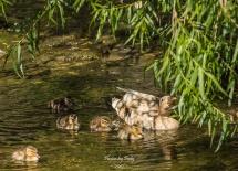 Baby Ducks_20170506_088