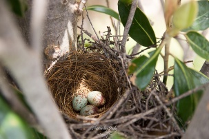 Mocking Bird Nest_20170428_002