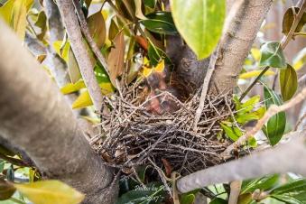 Mockingbird babys_20170514_017