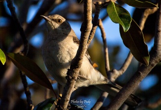 Mockingbird_20170512_027
