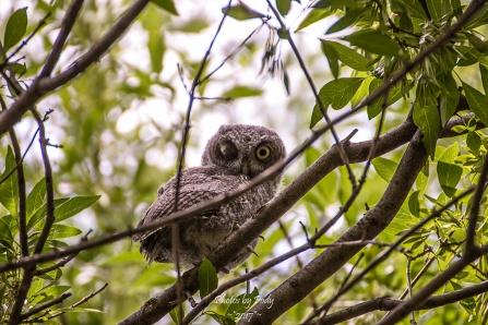 Owls_20170513_017