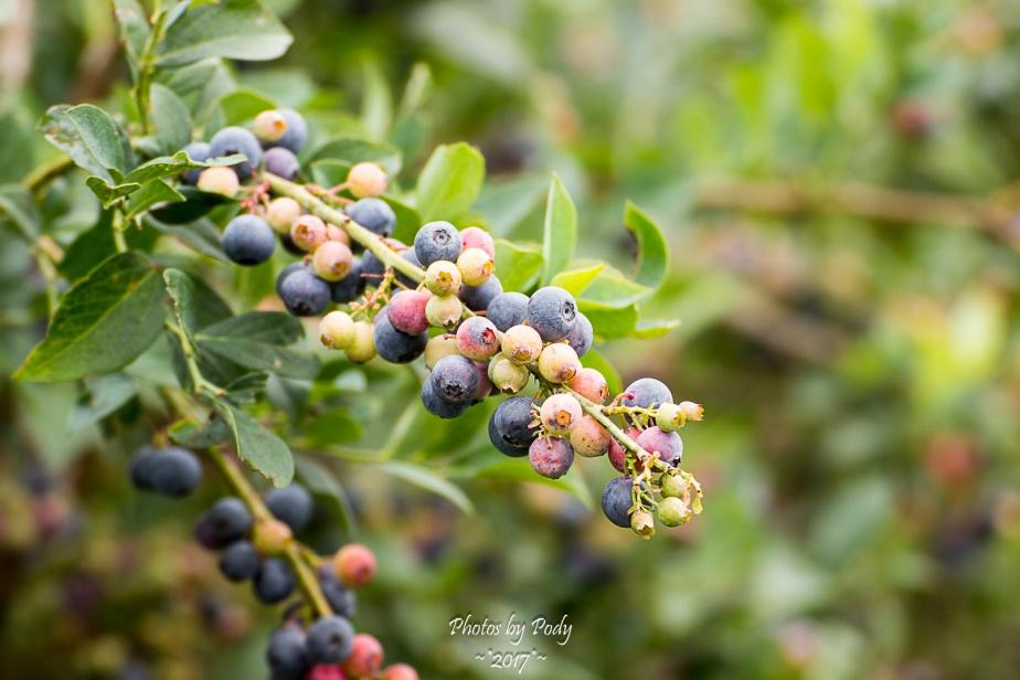 Quitman Blue Berry Farm_20170617_011