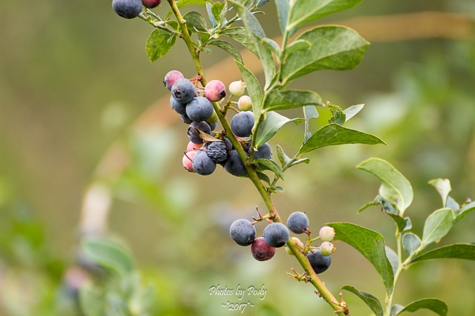 Quitman Blue Berry Farm_20170617_024
