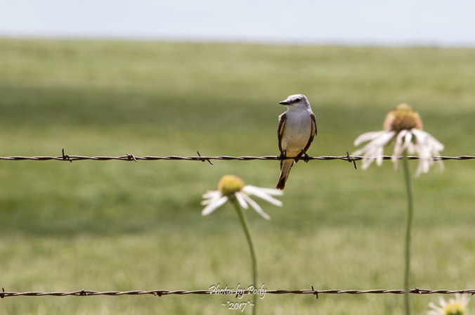 Scissor Tail Flycatcher_20170528_012