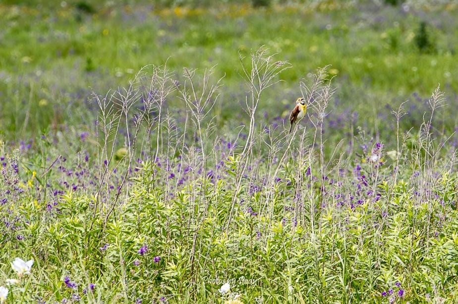 Western Meadowlark_20170528_004