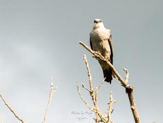 White-tailed Kite_20170527_007