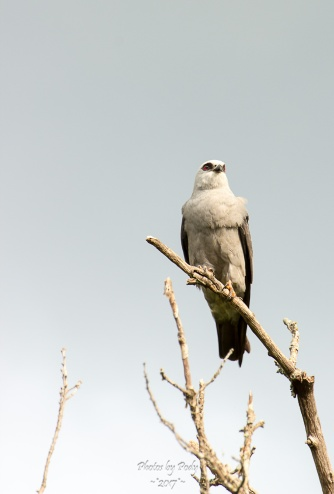 White-tailed Kite_20170527_008