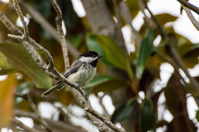 Carolina Chickadee_20170520_028