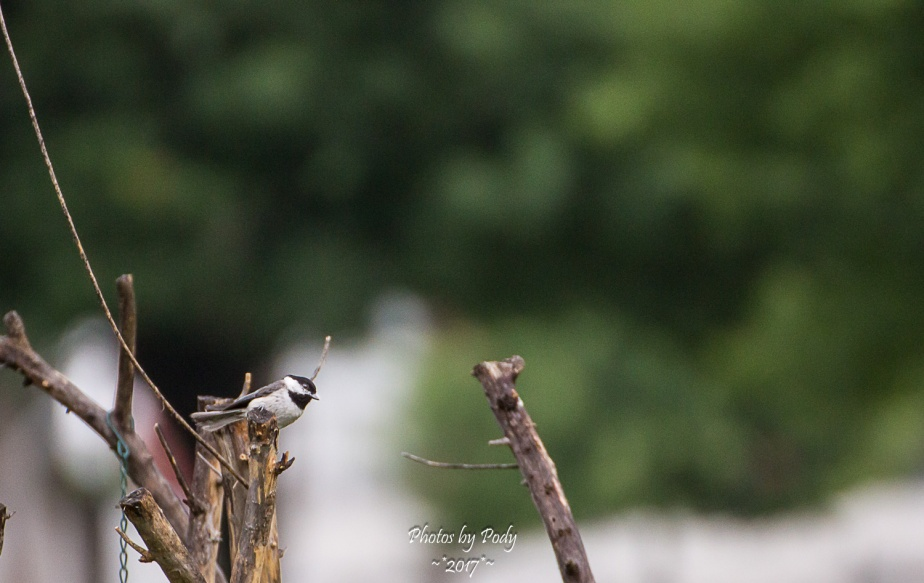 Carolina Chickadee_20170523_010