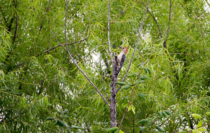 Downy Woodpecker_20170622_003