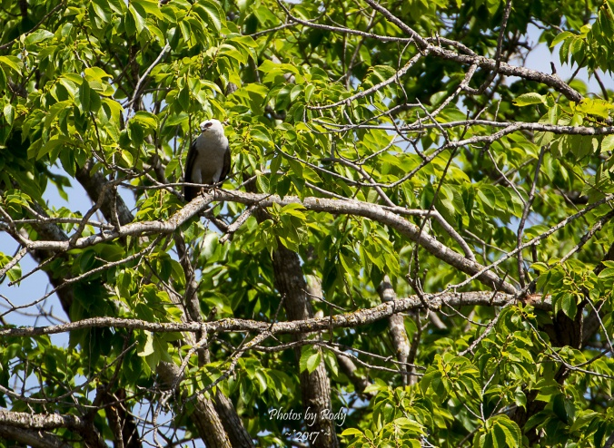 Mississippi Kite_20170702_021