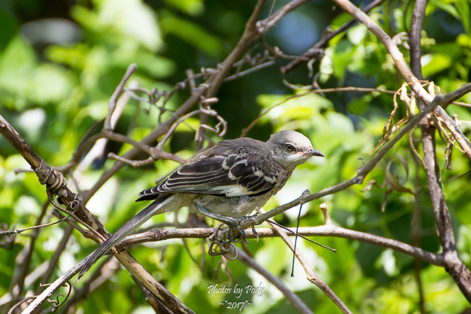 Mockingbird_20170529_016