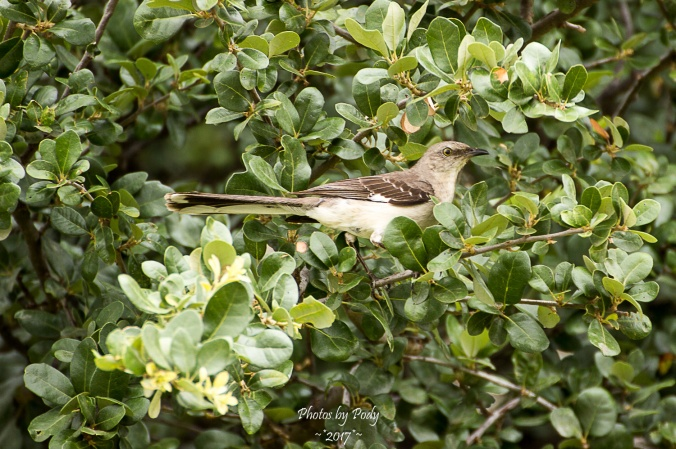 Mockingbird_20170622_003