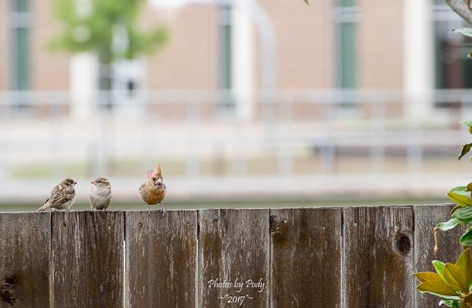 Sparrow and Cardinal_20170520_006