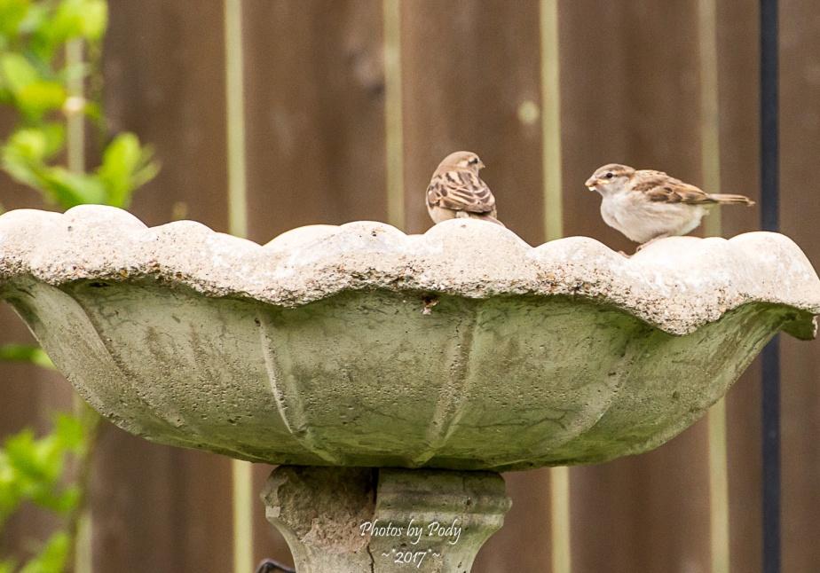 Sparrow_20170521_088