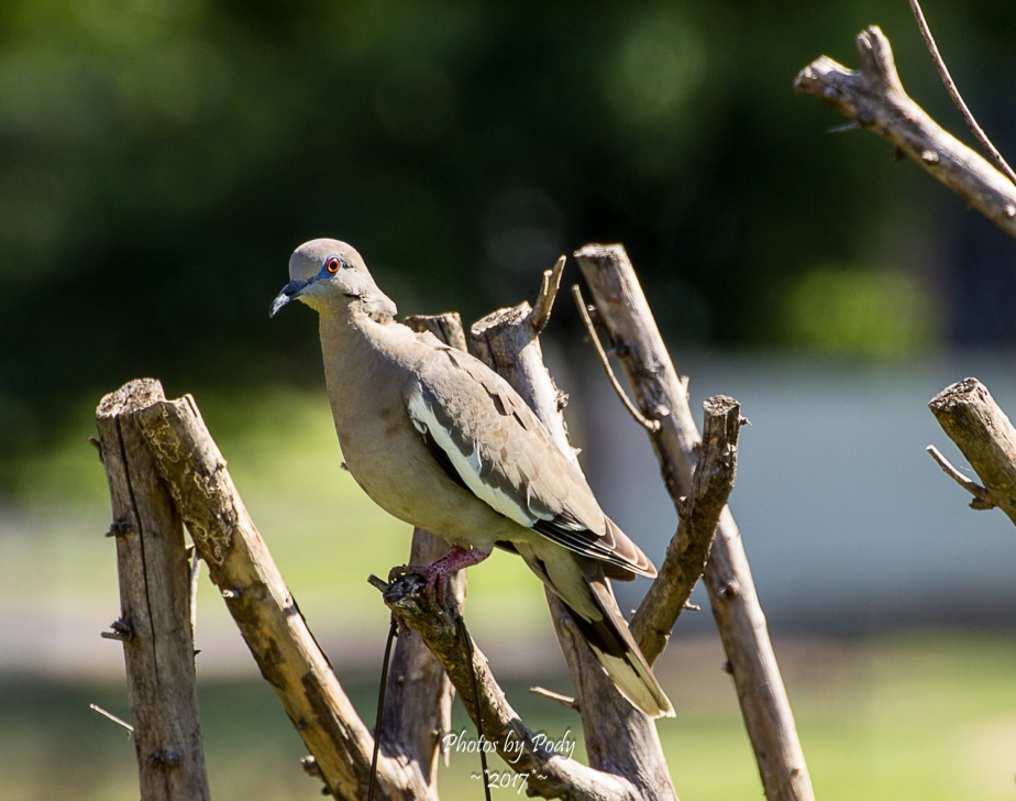 White-Winged Dove_20170704_003