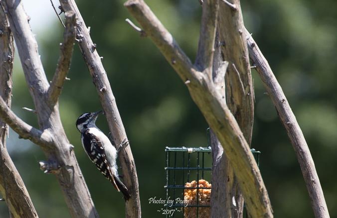Woodpecker_20170704_020