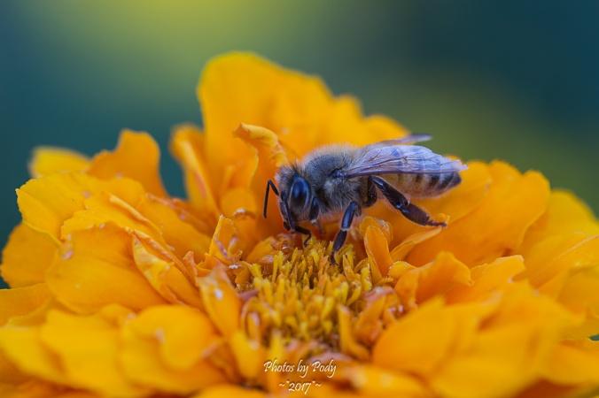 Canon 100mm Macro Testing Bees_20171013_017